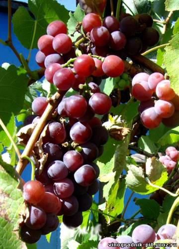 Фото всех сортов винограда